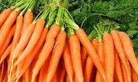 BCGA Carrot Variety Demo & Exhibition