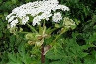 Giant Hogweed Stem Injection