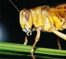Migrant Pest Control By Land And Air - Desert Locust (Schistocerca gregaria)