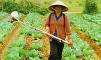 Vietnamese Lady spraying her cabbages