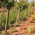 Herbiflex-4 in Vineyards